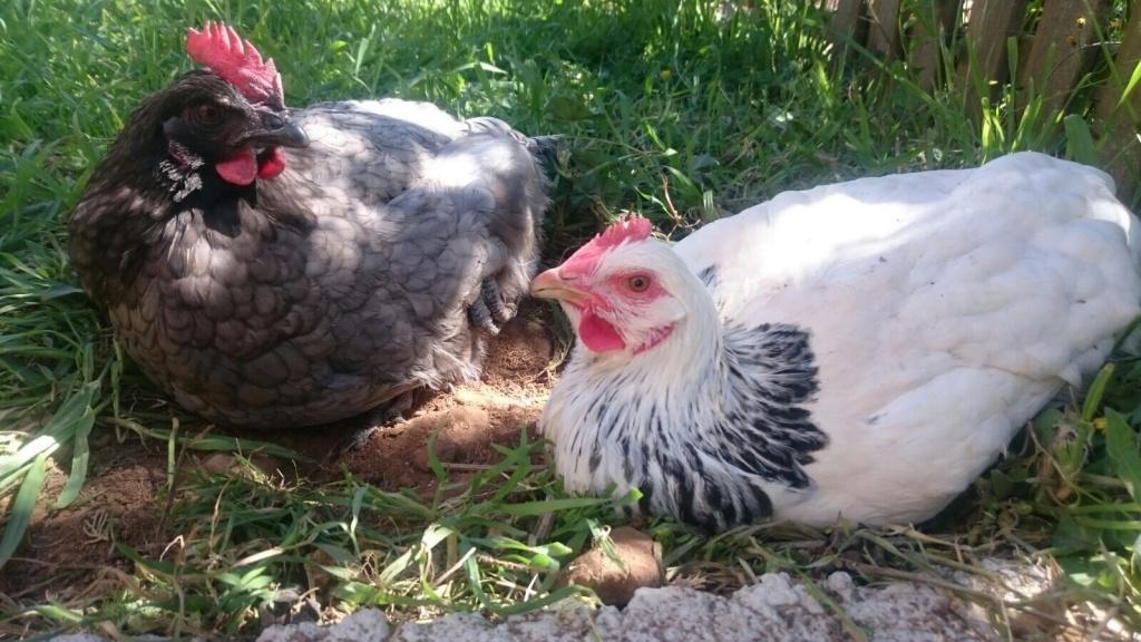 Hens of La Casa de Molí