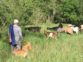 Un ramat pastura a la casa del moli